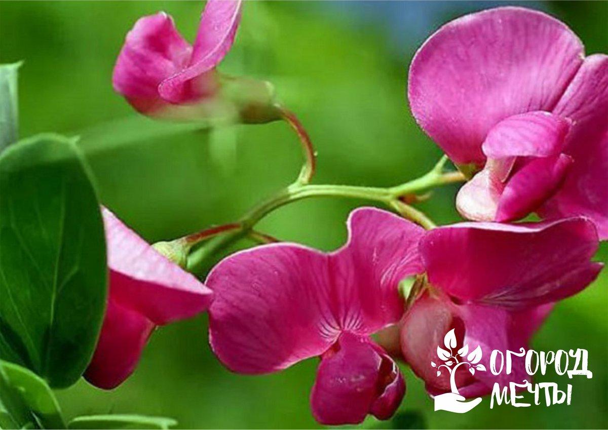 Вьющиеся растения для украшения дачных построек: топ-5 однолетников