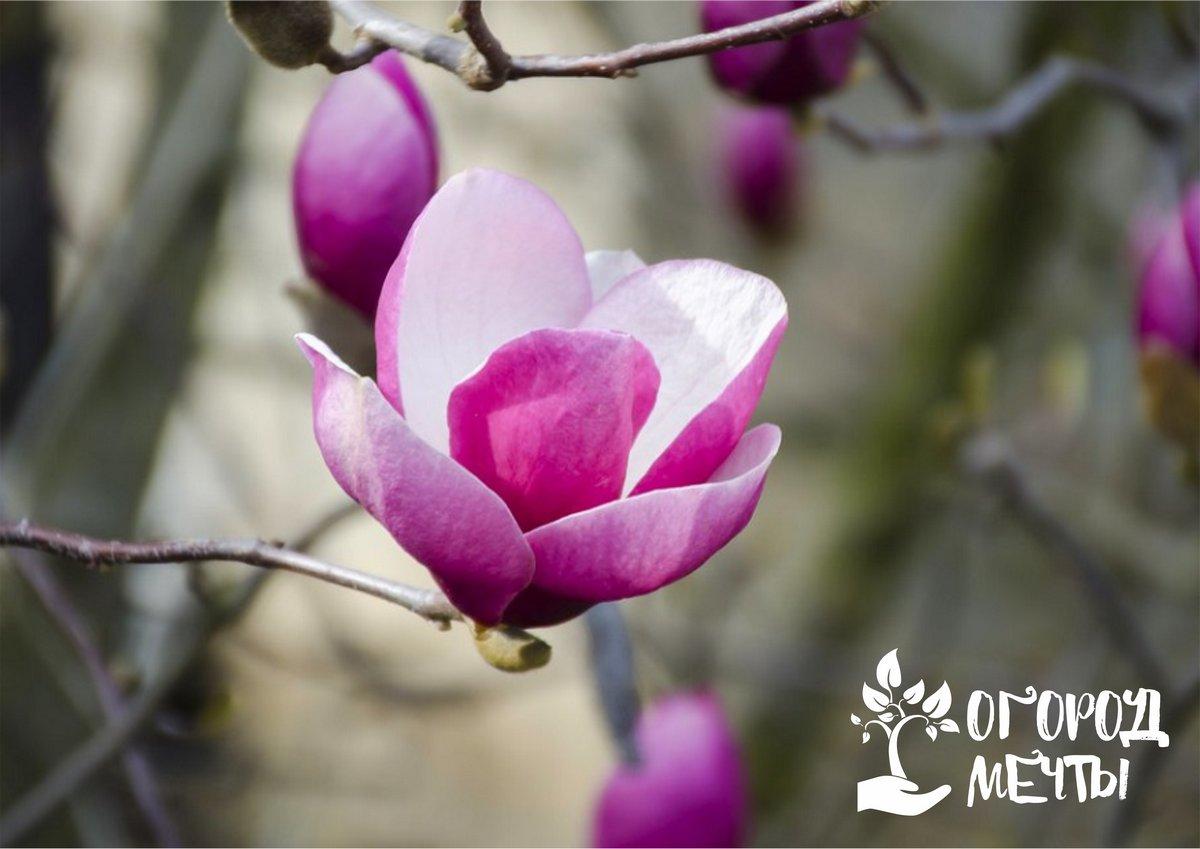 Изысканная магнолия на даче: как вырастить необычное декоративное дерево в условиях средней полосы