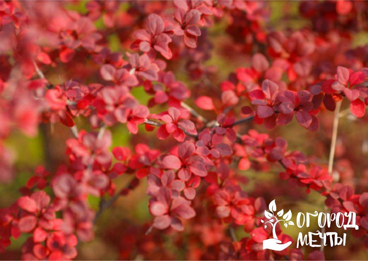 Красивый декоративный кустарник с прекрасной листвой преобразит вашу дачу! Десять лучших сортов барбариса с разноцветной листвой