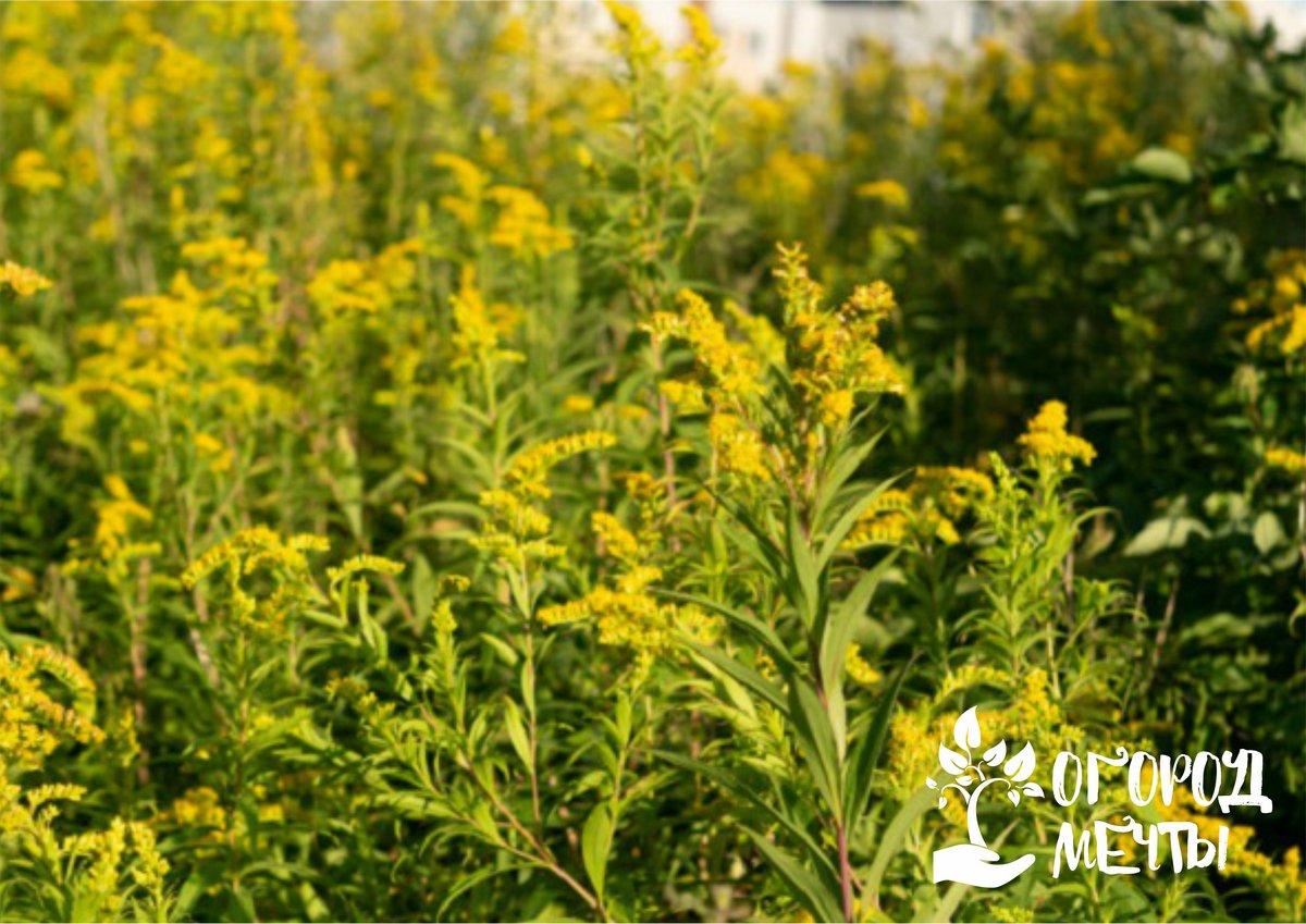 Самый опасный сорняк на участке, который вредит здоровью! Топ-5 методов для борьбы с амброзией