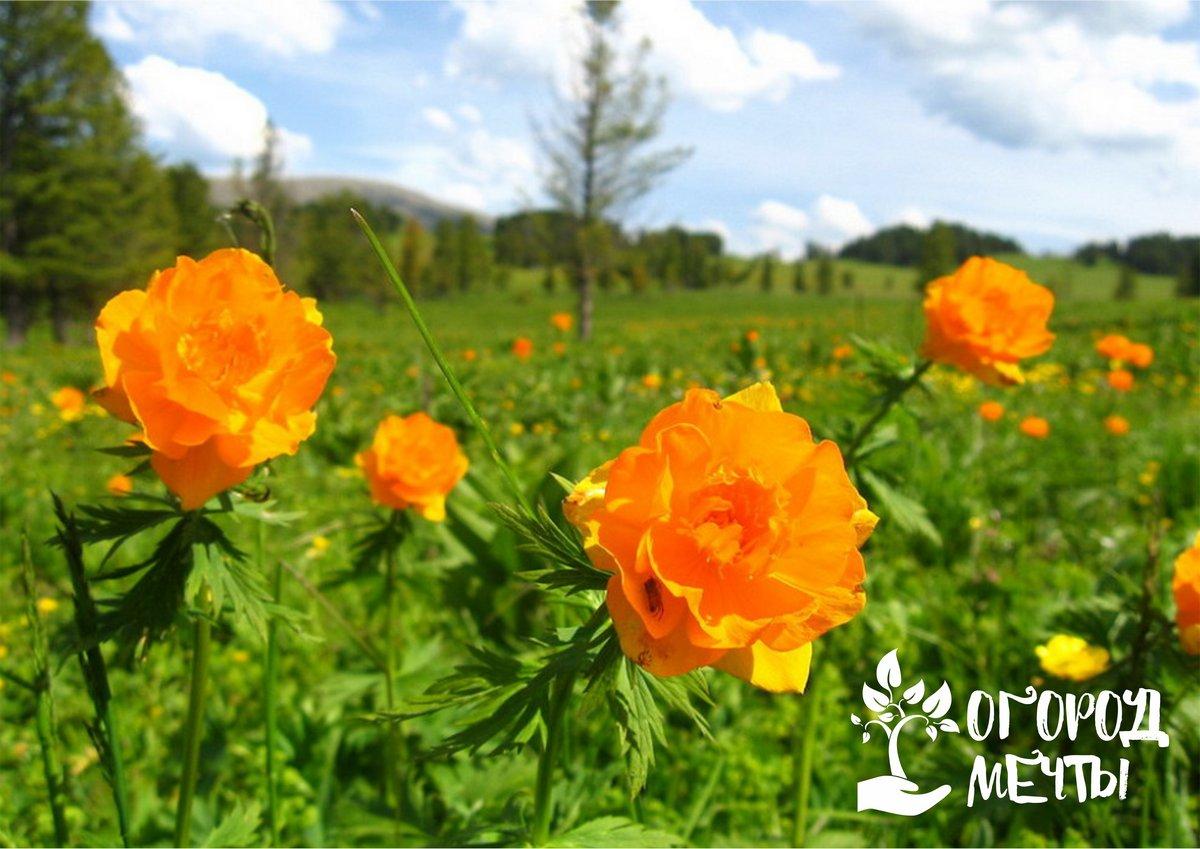 Солнечный цветок для вашей клумбы! Как вырастить изысканную купальницу на даче