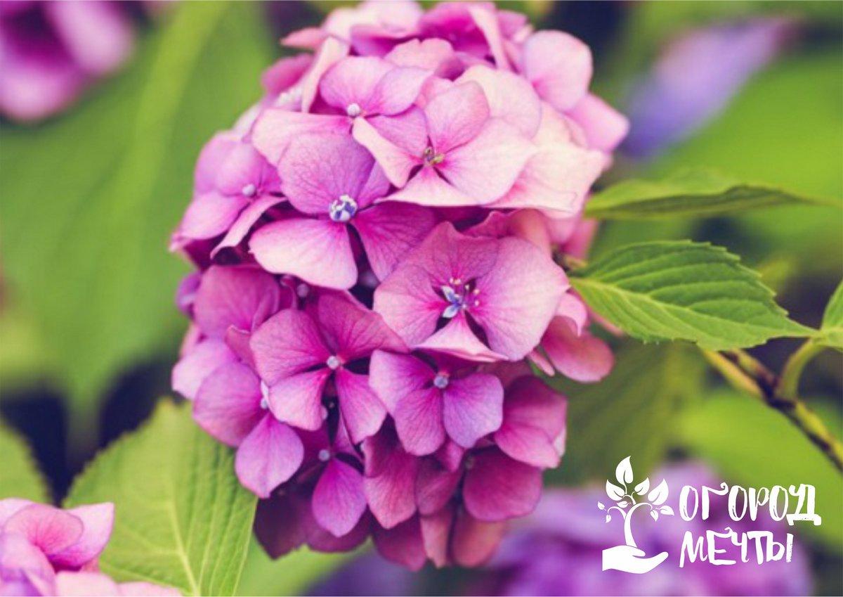 Календарь ухода за садовыми гортензиями лето-осень