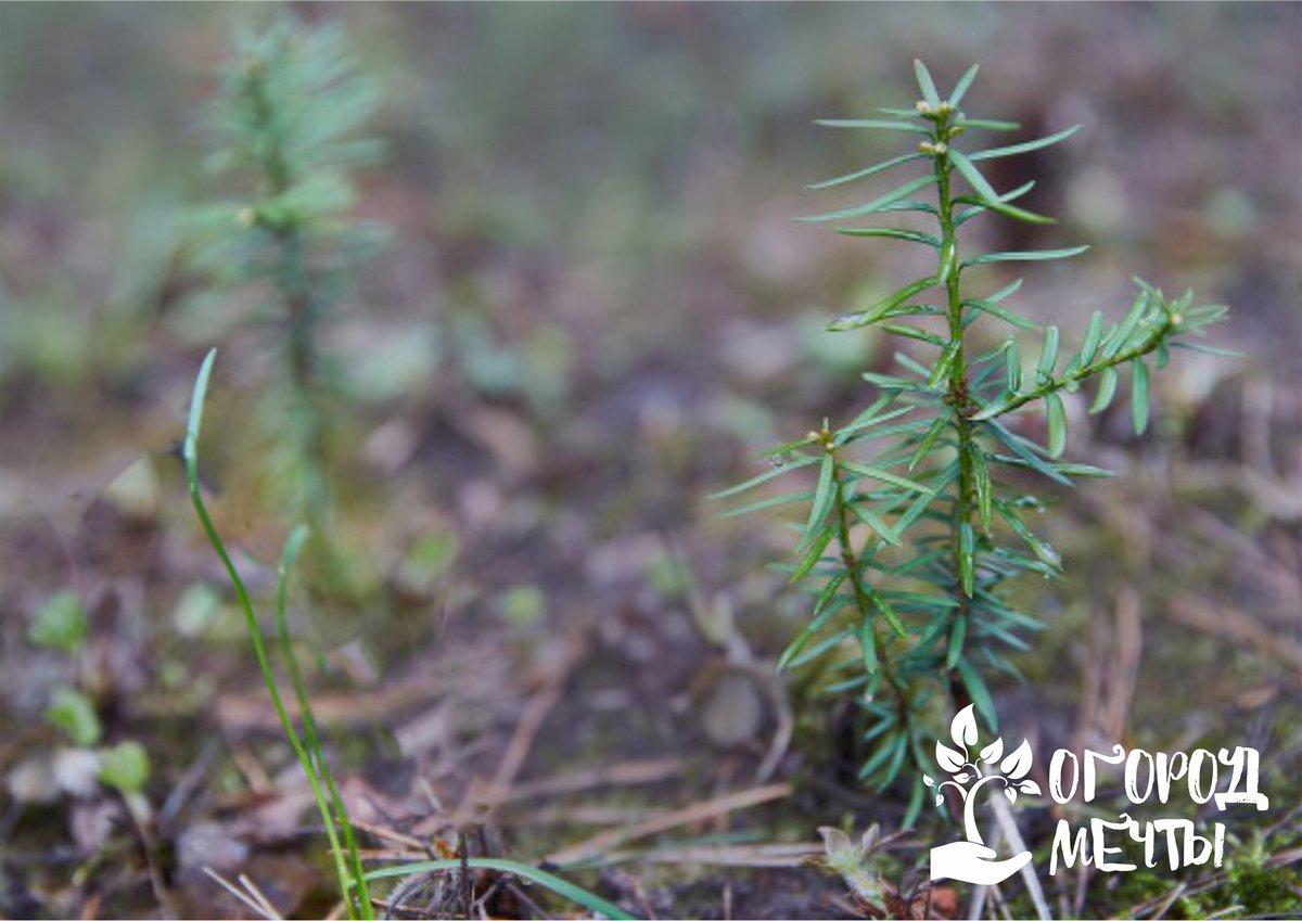 Шикарный хвойный кустарник – декоративный тис! Раскрываем секреты выращивания культуры-долгожителя