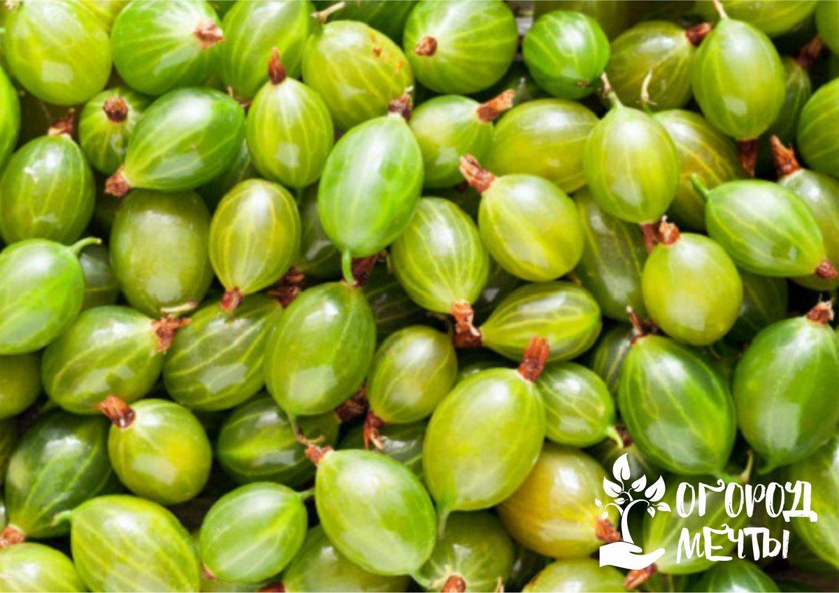 Без этой ягоды летом не обойтись! Лучшие сортовые виды сладкого и аппетитного крыжовника
