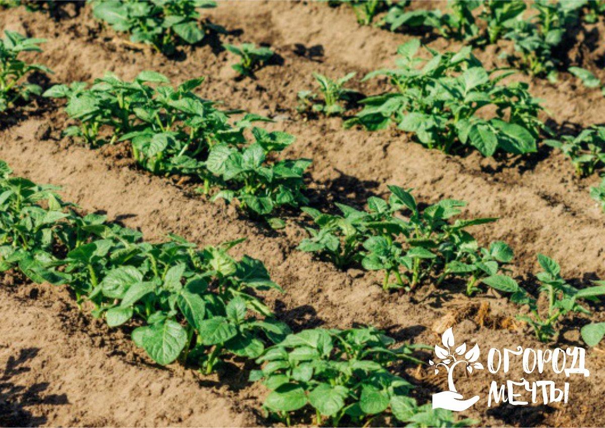 Картофель погибает от жары: как спасти кусты в летний зной