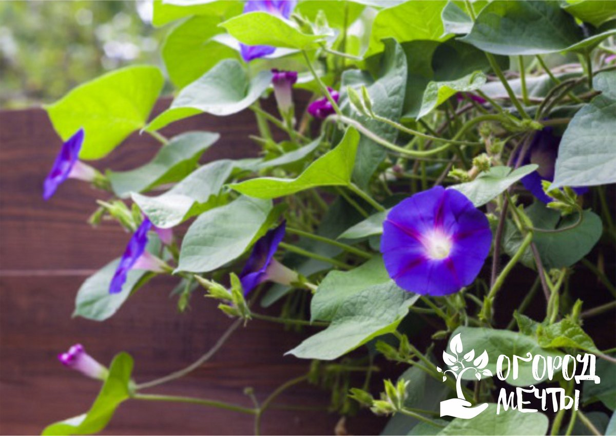 Хотите быстро задекорировать беседку? Посадите на даче эти вьющиеся однолетние растения!