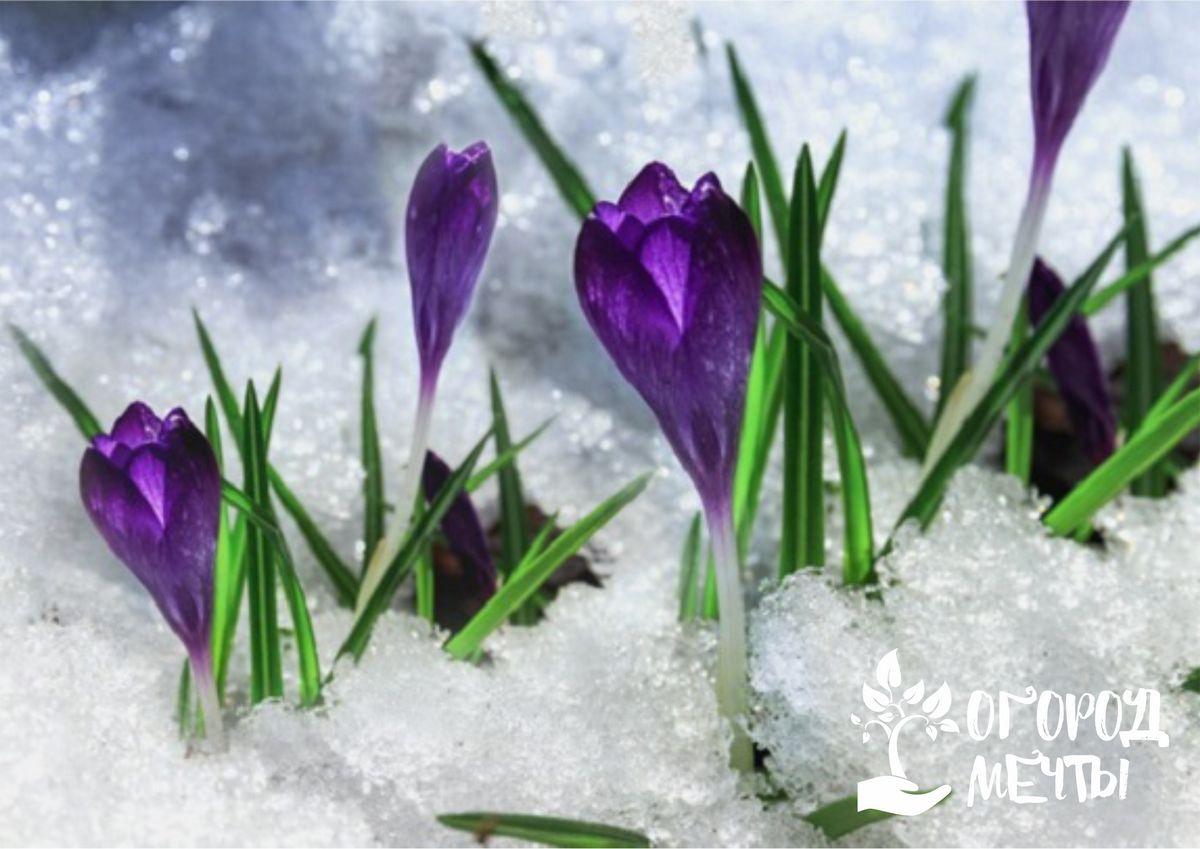 Самая главная опасность для вашей дачи весной - возвратные заморозки! Как спасти растения и вылечить пораженные посадки