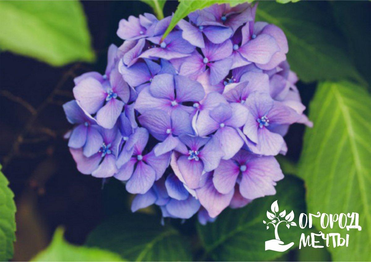 Цветение в саду весь дачный сезон! Лучшие сорта гортензии метельчатой: топ-12 шикарных вариантов