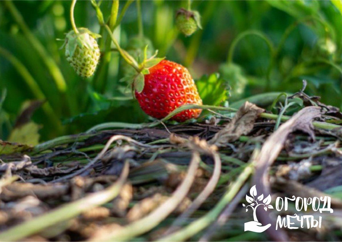 Календарь ухода за садовой клубникой на весну, лето и осень