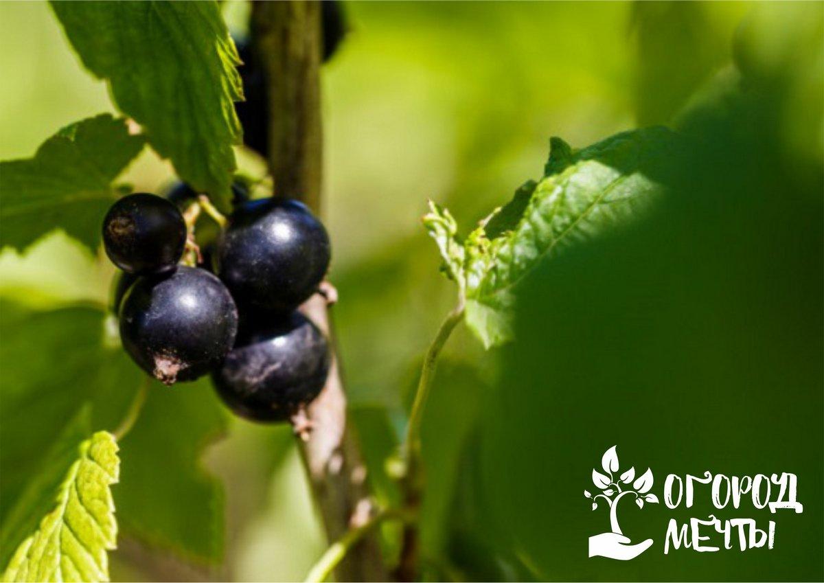 Крупный урожай смородины – это реальность! Список из лучших крупноплодных сортов популярного кустарника