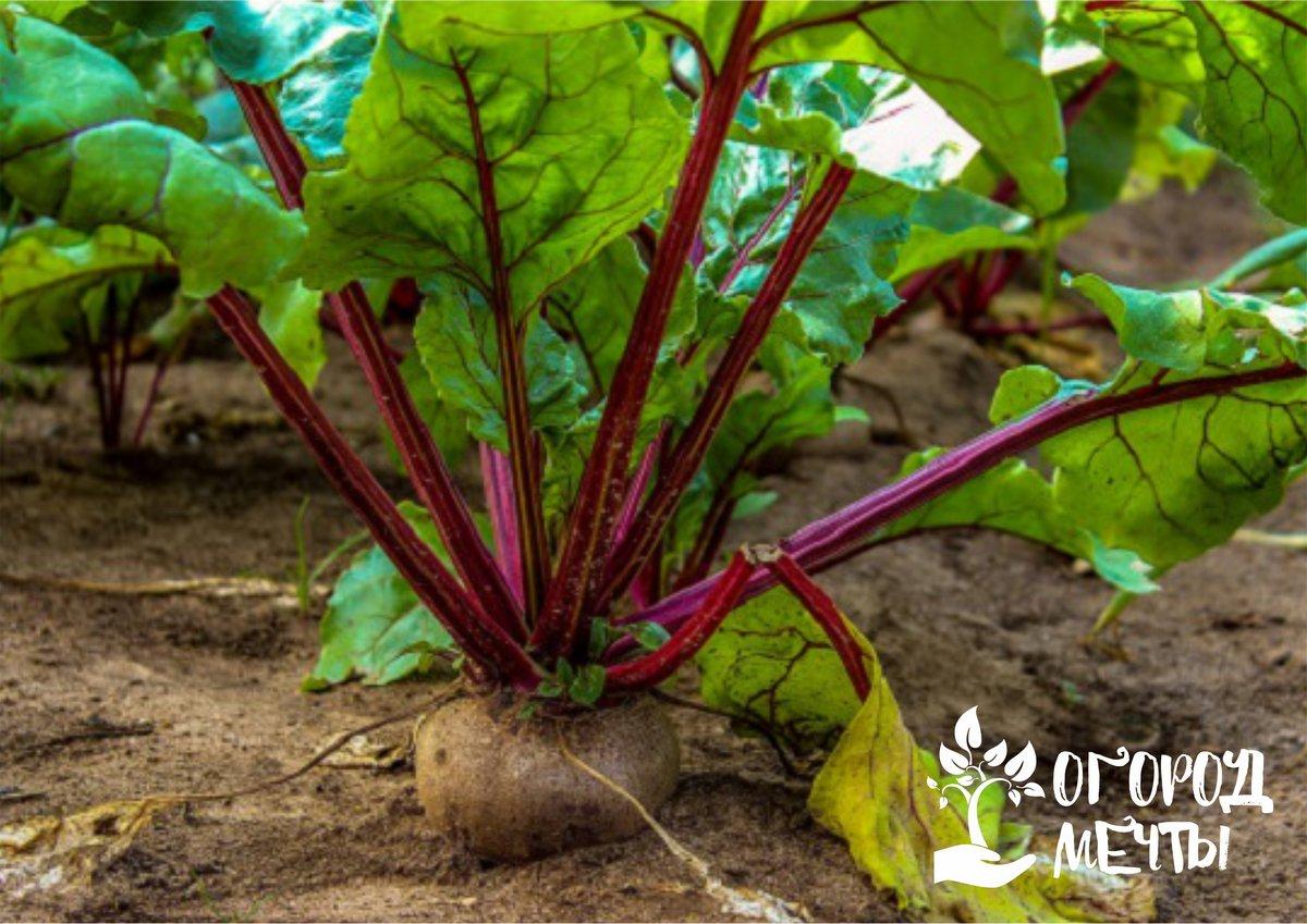 Желтеют и сохнут листья у свеклы! Как спасти корнеплод и сохранить урожай полезного овоща