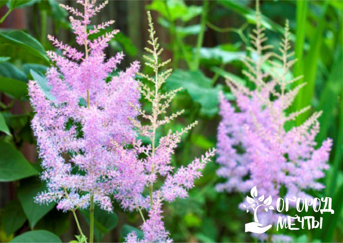 До начала цветения важно подкормить кустики астильбы с помощью удобрений с повышенной концентрацией калия