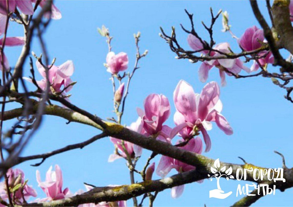 Эта цветущая культура совершенно неприхотлива и способна привнести нотку экзотики в ваш весенний сад!