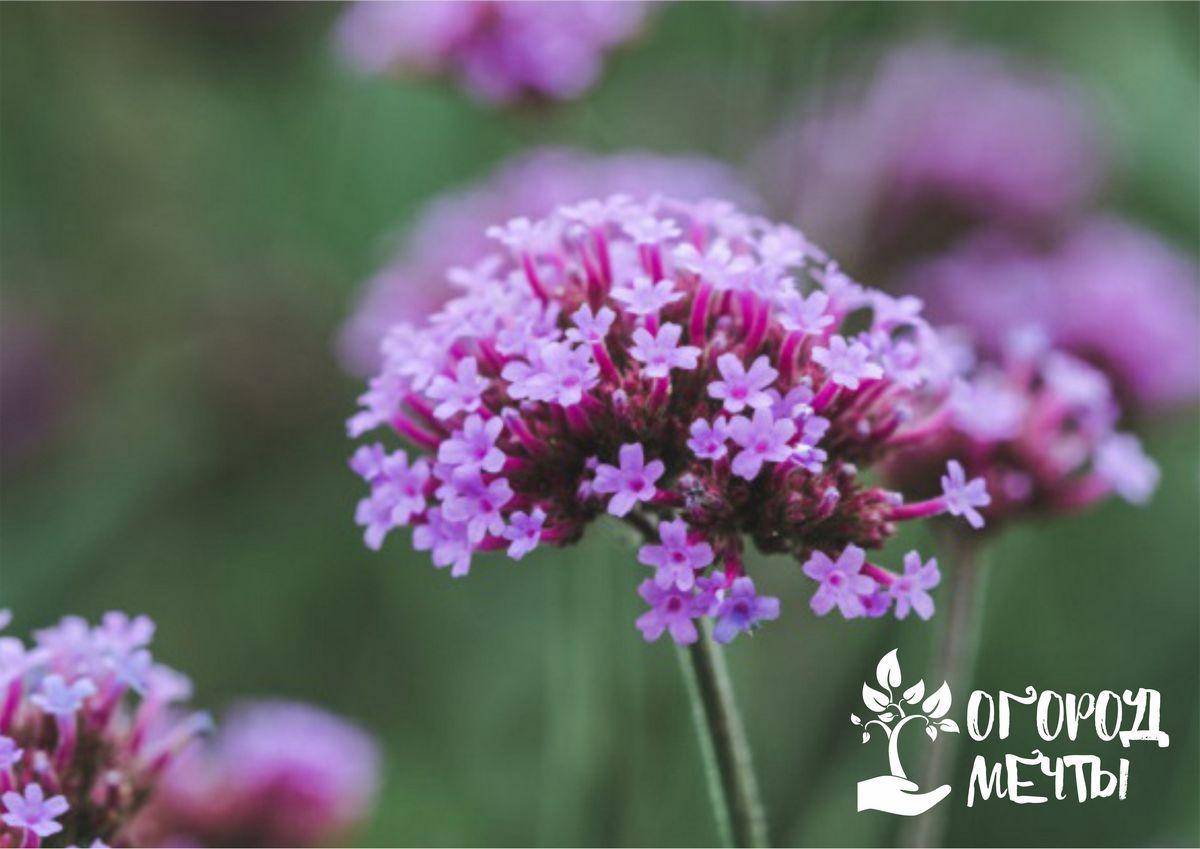 Поляна из нежных цветочков на вашей даче! Как вырастить садовую вербену без лишних хлопот