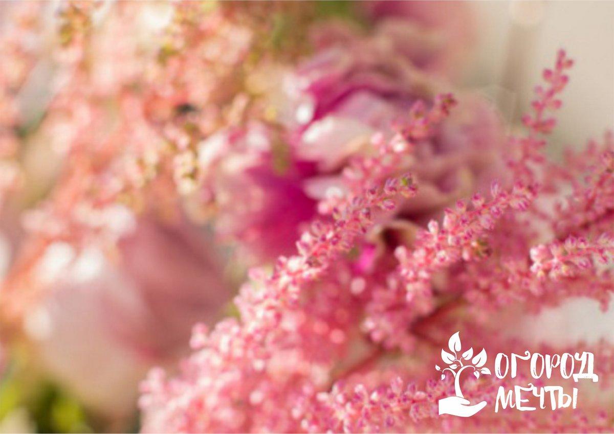 Как только все цветки астильбы увянут, растение будет нуждаться только в поливе и обрезке цветоносов