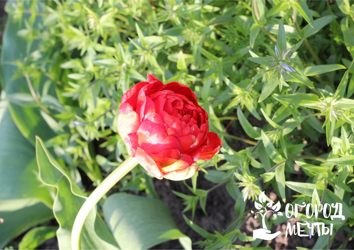 Выкапывать луковички тюльпанов после отцветания нужно каждый год