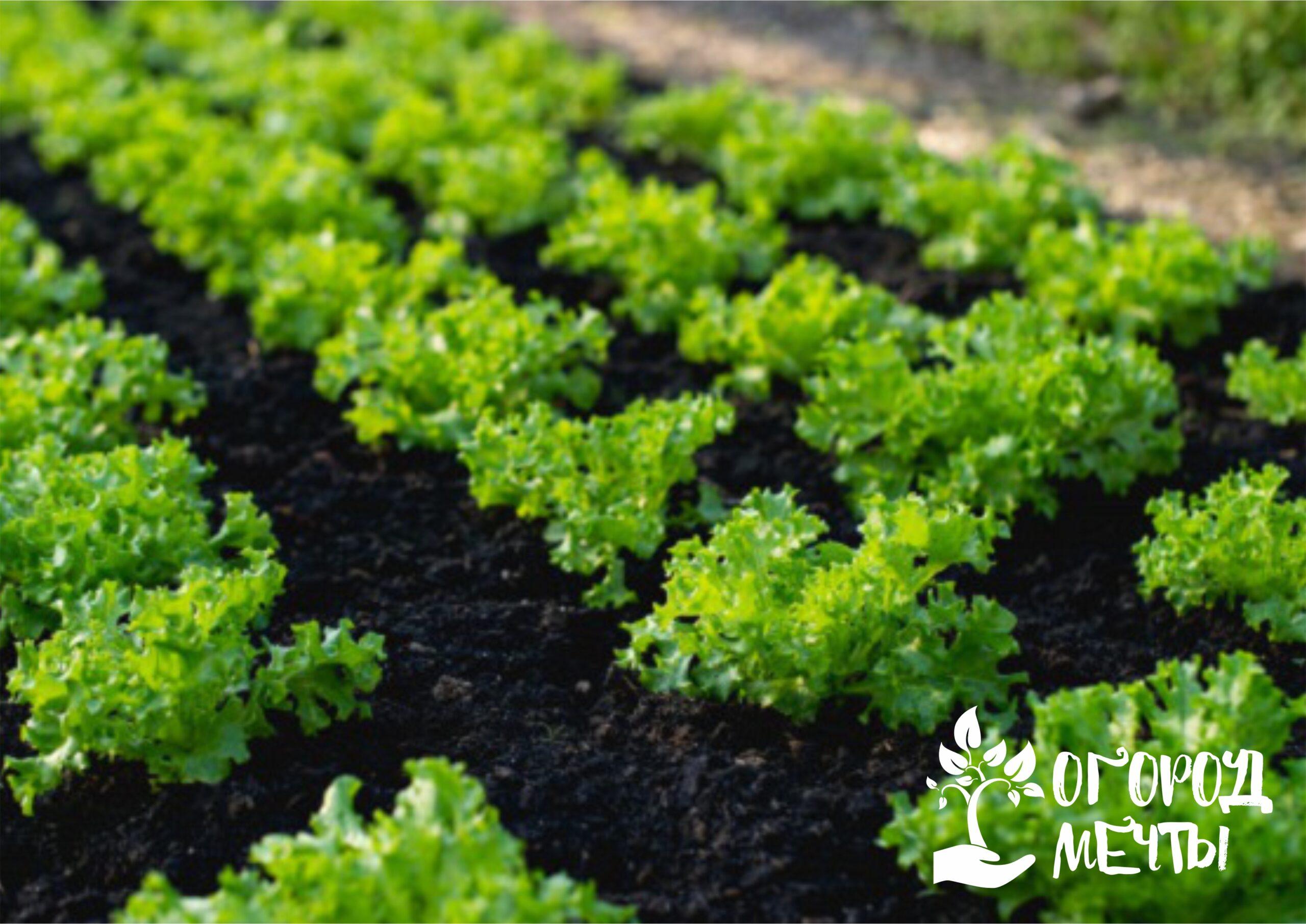 Актуальна и подкормка растений