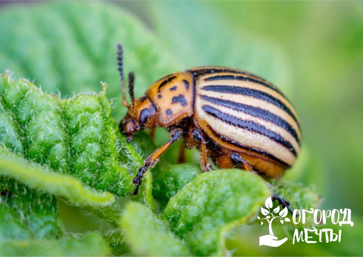 Чистотел. Это лечебное растение способно избавить вас от жука