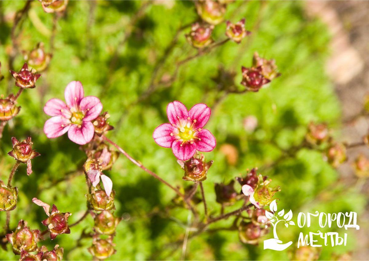 Прекрасная камнеломка: нюансы выращивания самого популярного растения для оформления альпийских горок и рокариев