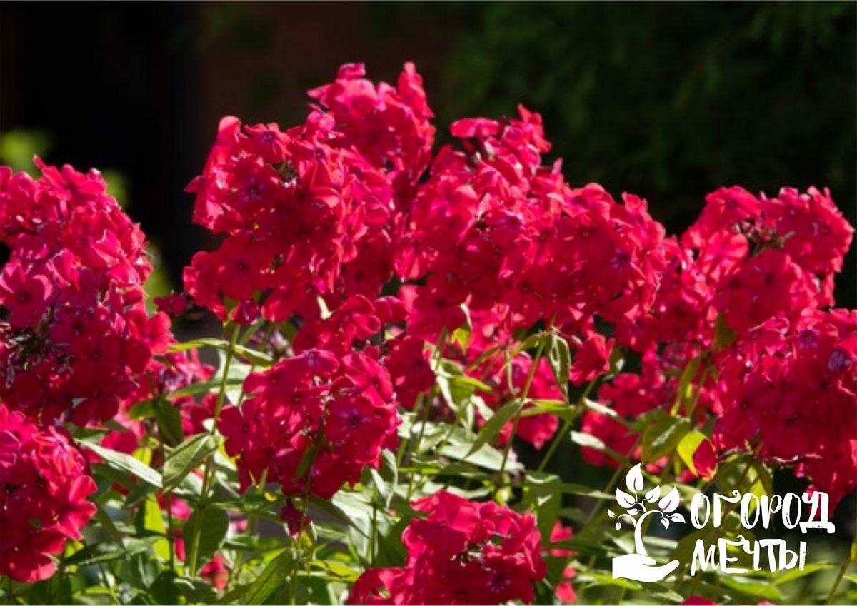 В середине лета очень важно контролировать влажность почвы, в которой растут метельчатые флоксы