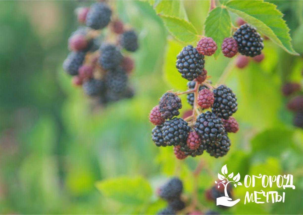 Уход за кустами ежевики летом: основные работы в ягодном саду