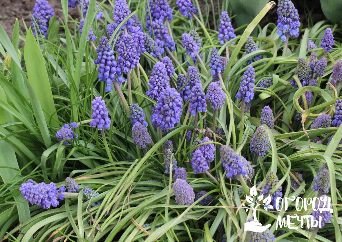 Как украсить клумбу ранней весной? Посадить на дачном участке прекрасные мускари осенью!