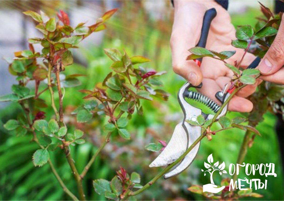 Летняя обрезка роз: разновидности и самые важные нюансы