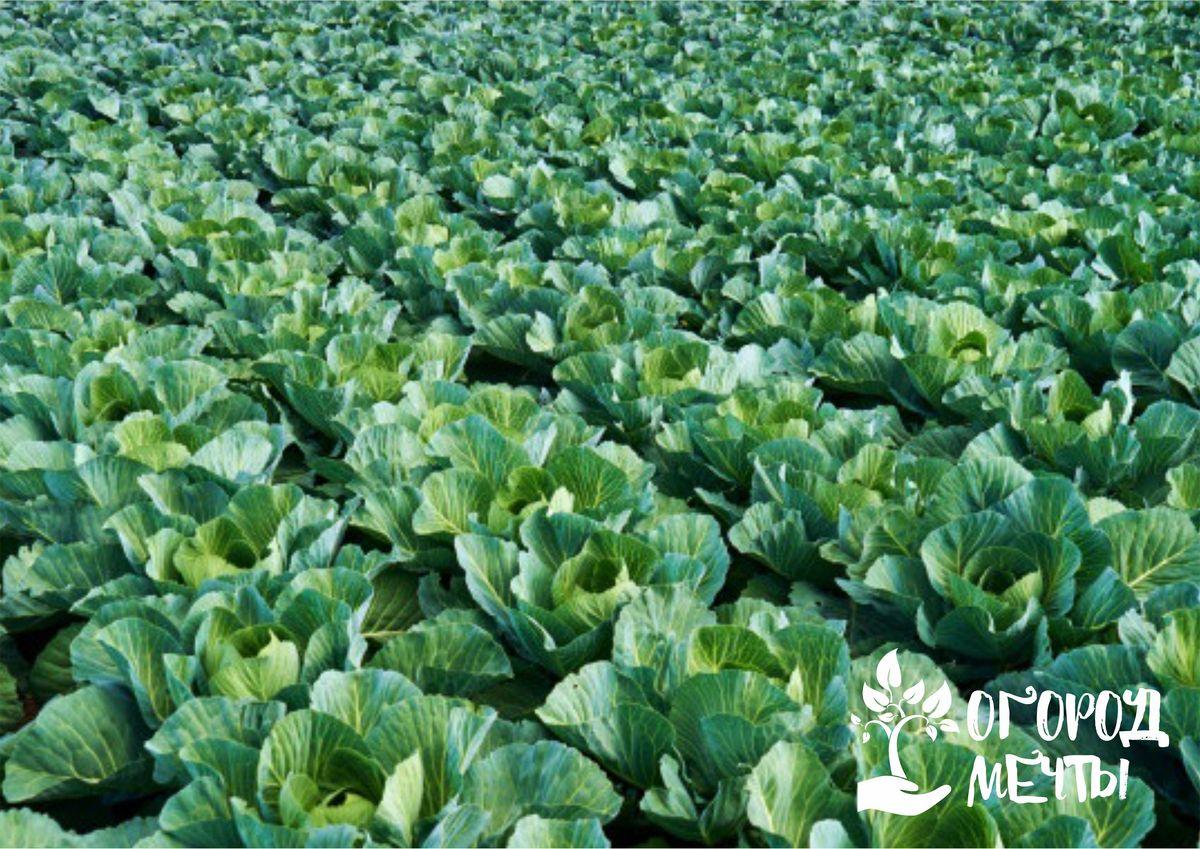 Трескается кочан капусты: причины и помощь огороднику