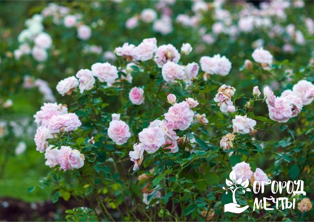 Самые долгоцветущие розы: семь красивых и изысканных сортов для дачной клумбы