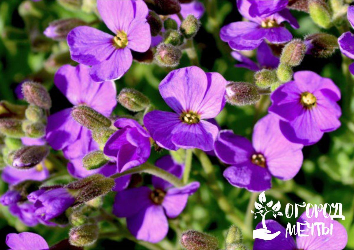 Прекрасный стелющийся цветок для украшения альпинария или клумбы: все о выращивании обриеты на даче