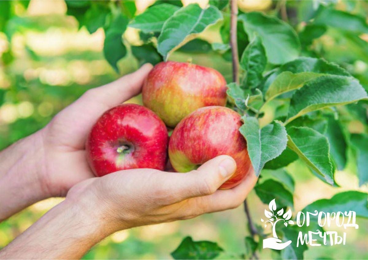 Самые лучшие сорта яблок для домашних напитков: сидра и кальвадоса