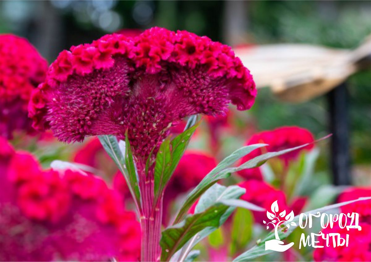 Уход за целозией: особенности выращивания прекрасного садового цветка