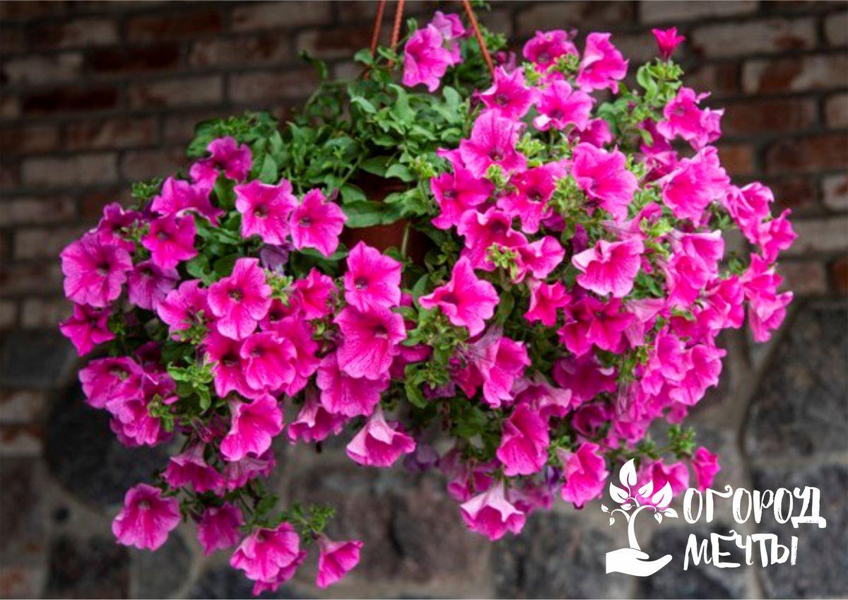 Уход за садовыми петуниями в июле: как продлить и приумножить цветение