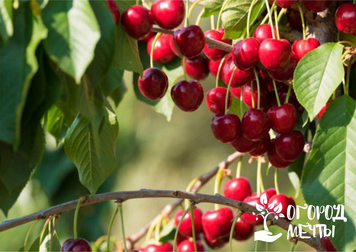 Топ-5 сортов сладкой и сочной вишни для садового выращивания