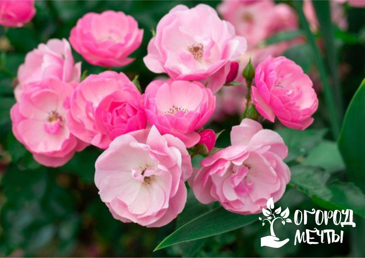 Особенности изгородей из садовых роз