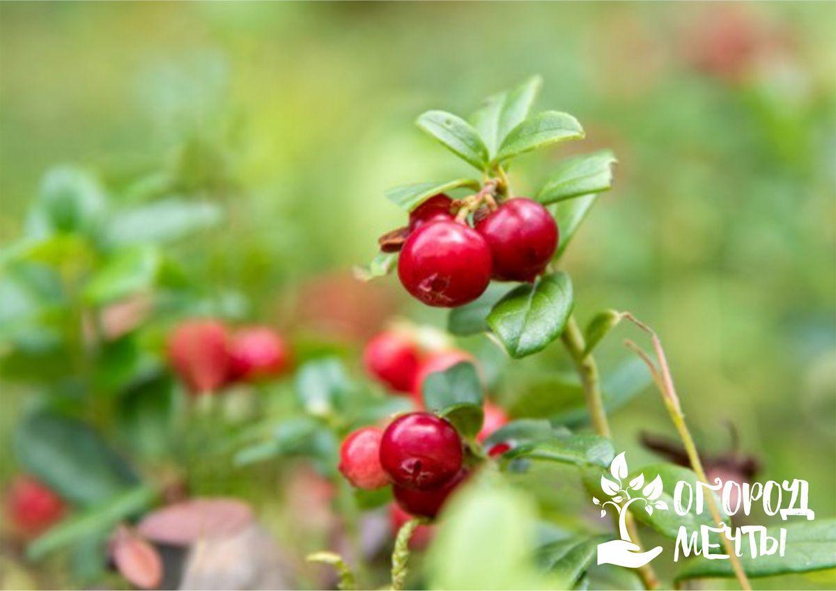 Самая полезная ягода для иммунитета на даче: все о выращивании садовой клюквы