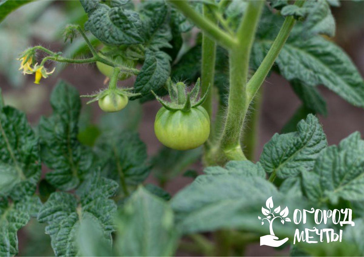 Нет завязей на томатах: как исправить ситуацию