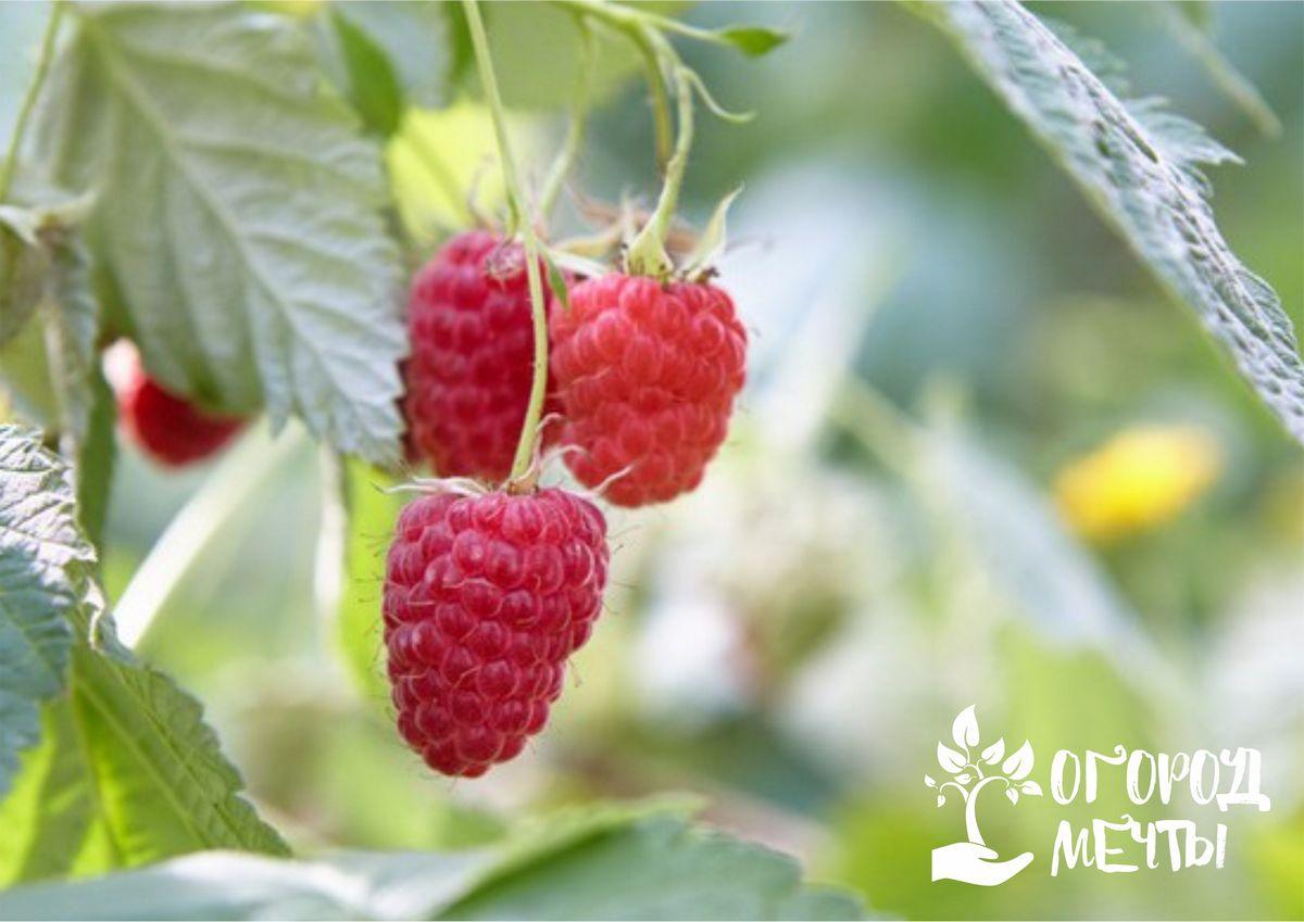 Календарь дачника: как ухаживать за малиновыми кустами в июне