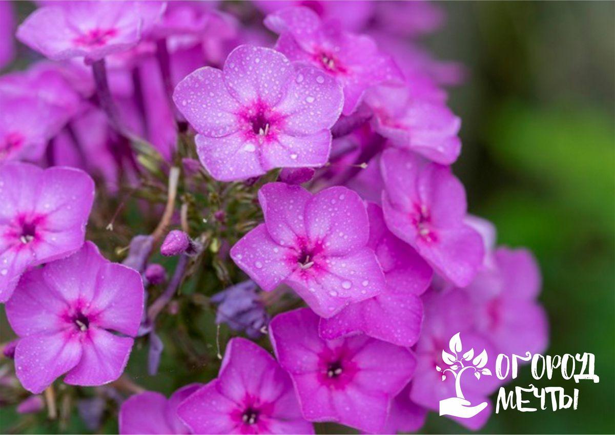 Летний календарь ухода за метельчатыми флоксами