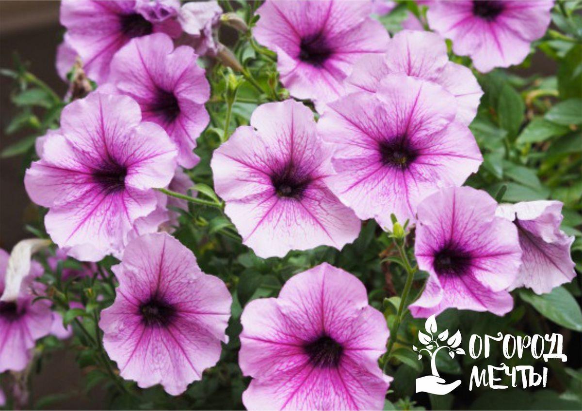 Прекрасные садовые петунии: десять самых ярких сортов с длительным цветением