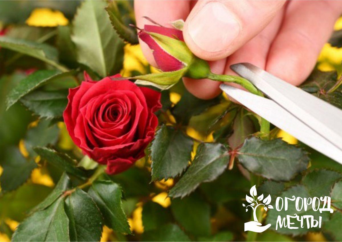 Обрезка роз летом - важный этап в уходе за садовым цветком