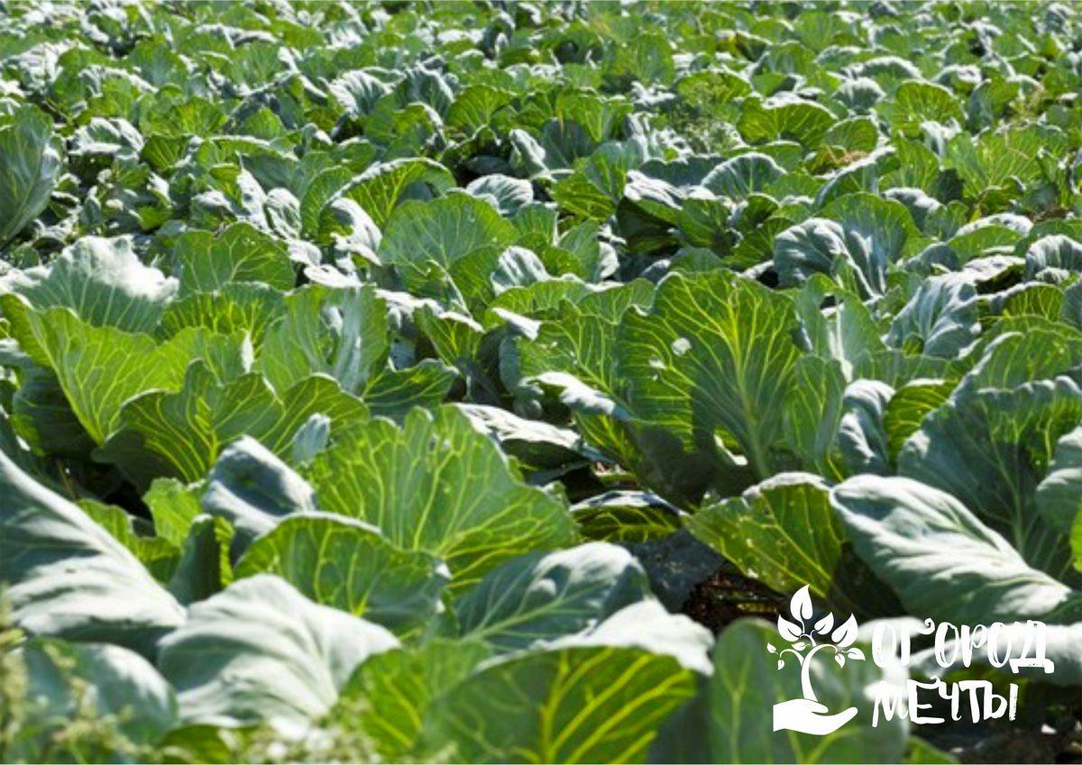 Трескаются кочаны на капусте: причины и лучшие способы спасения урожая