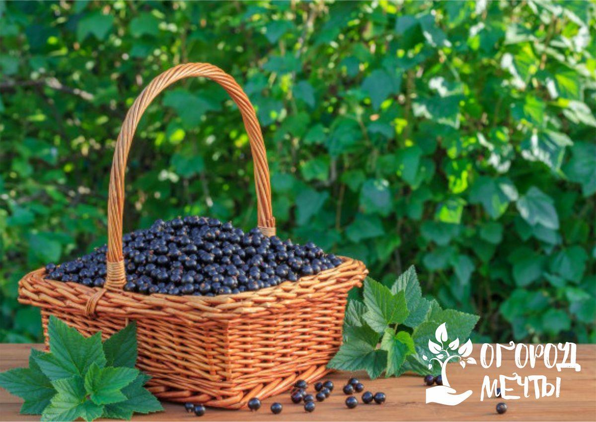 Скручиваются листья на кустах смородины: как спасти садовые ягоды от вредителей и заболеваний