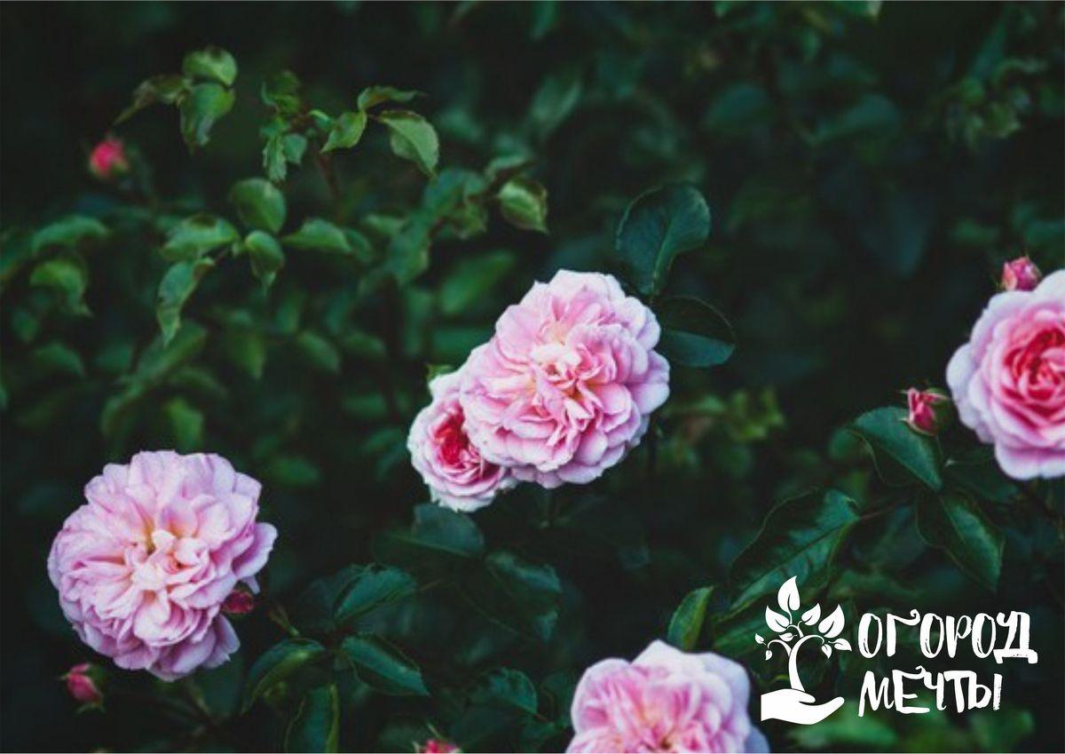 Топ-7 лучших сортов роз со стойким и длительным цветением