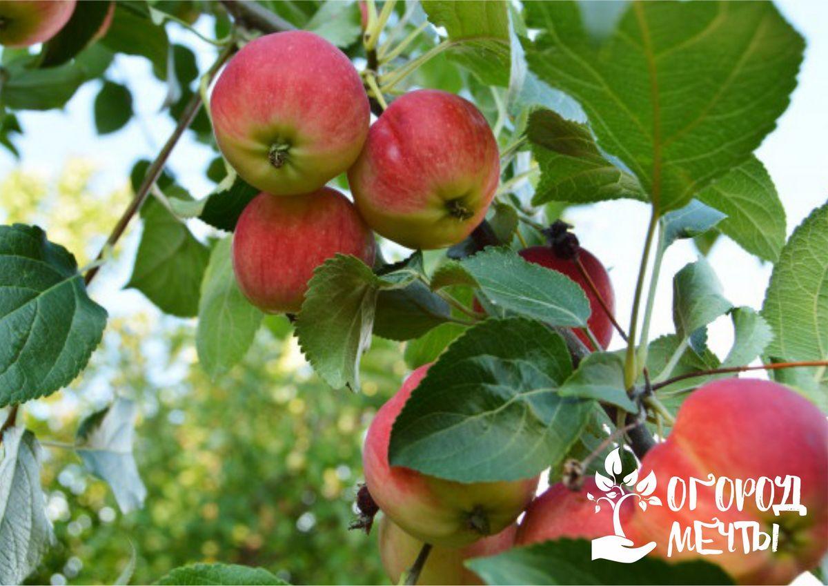 Ароматный сидр и кальвадос: какие сорта яблонь можно посадить на даче для приготовления вкусного напитка