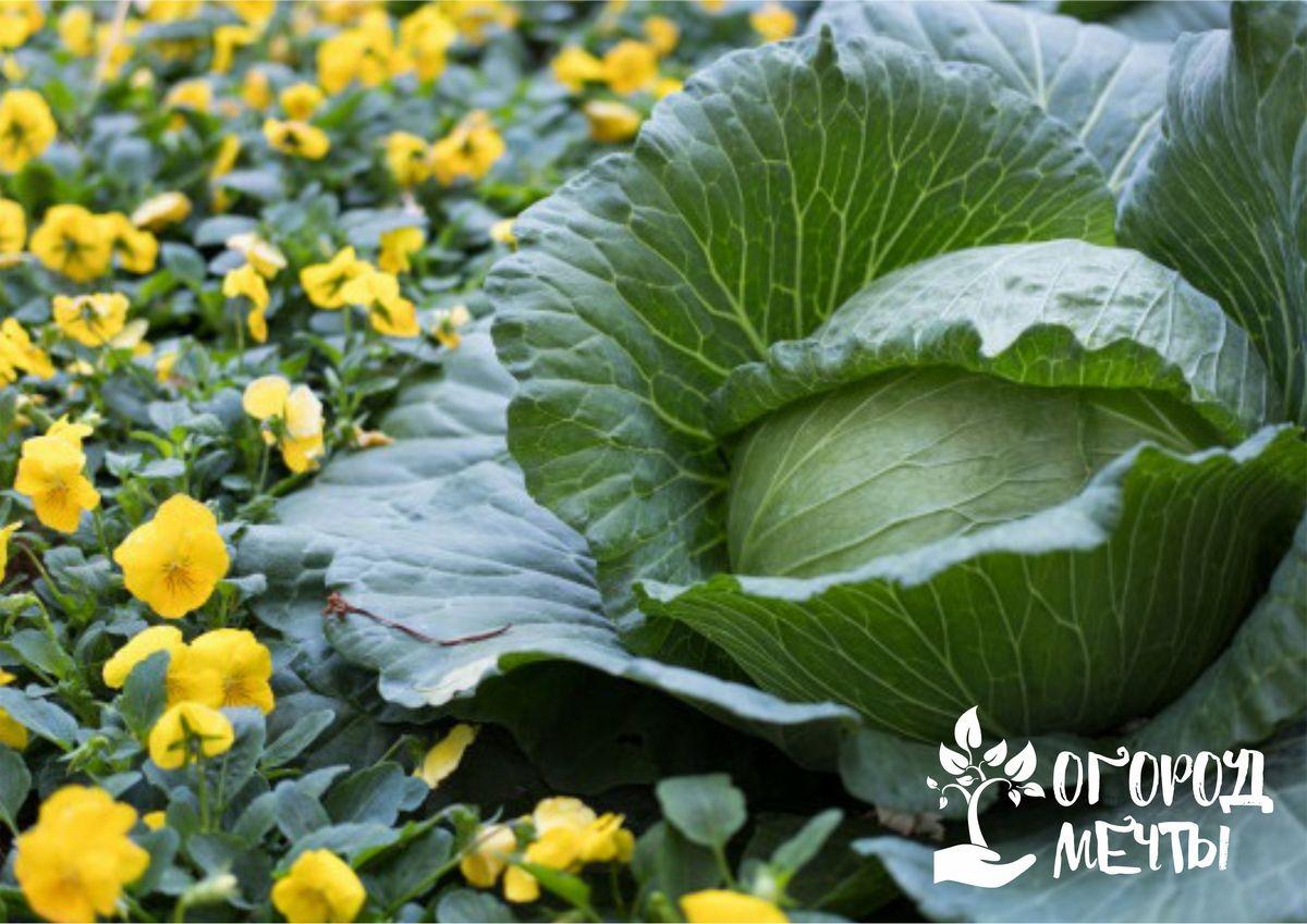 Когда и чем подкармливать огородную капусту: лучшие варианты органических удобрений