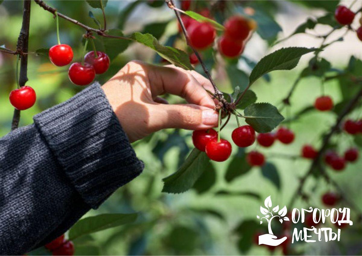 Сладкая вишня в саду: топ-5 лучших сортов