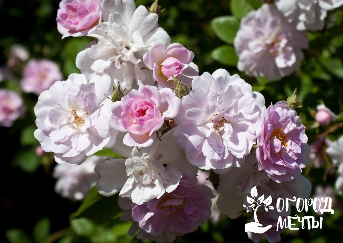 Изгородь из садовых роз как украшение дачного участка