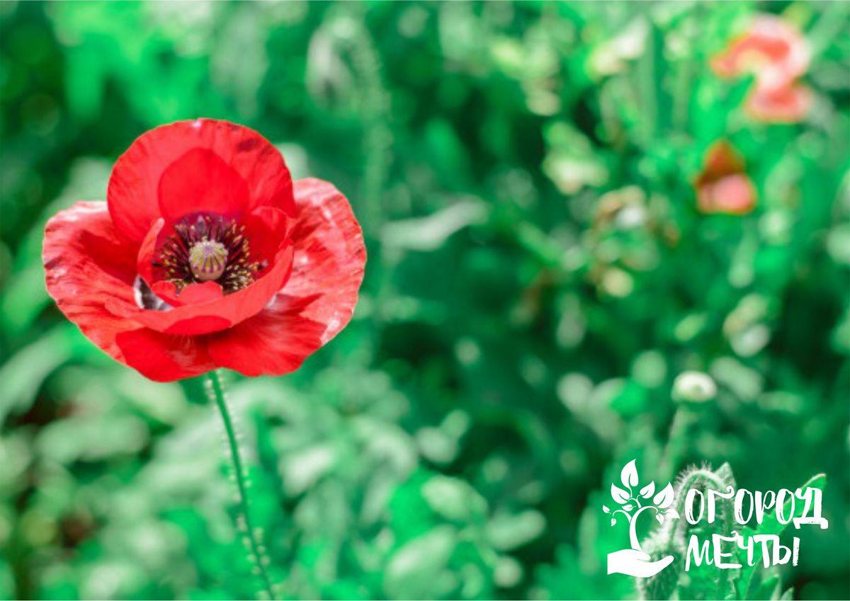Цветущие маки для украшения клумбы: топ-11 необычных сортов