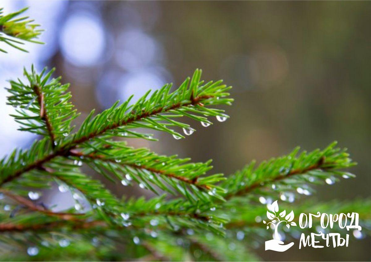 Бюджетное универсальное средство, которое спасет растения от холода, вредителей, засухи и болезней! Семь вариантов полезного применения хвойного опада